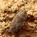 Well camouflaged bug - Emblethis vicarius
