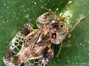Lace Bug - Corythucha cerasi
