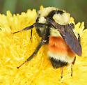 Hunts Bumblebee? - Bombus huntii