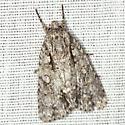 Clear Dagger Moth - Hodges #9246 - Acronicta clarescens