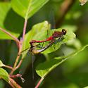 mating ruby meadowhawks - Sympetrum rubicundulum - male - female