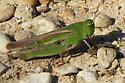 grasshopper sp. - Chortophaga viridifasciata - female