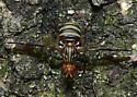 Fly - Idana marginata