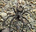 Spider eating dragonfly - Dolomedes scriptus