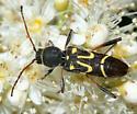 longhorned beetle - Clytus ruricola