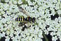 Wasp - Cerceris arelate - male