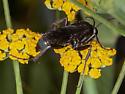 Sphecidae? - Anoplius - female