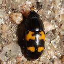 Picnic Beetle - Glischrochilus fasciatus