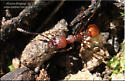 Ant - Aphaenogaster tennesseensis