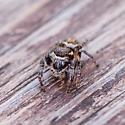 jumping spider - Eris flava