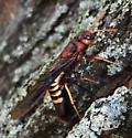 Stonefly? - Tremex columba