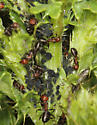gray aphids on Canada Thistle - Aphis