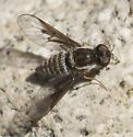 Aphoebantus transitus - female