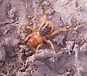 Odd bug - Ammopelmatus