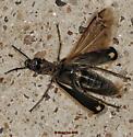 Yellow-crescent Blister Beetle - Pyrota insulata