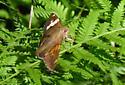 Some sort of Skipper? - Silver-spotted Skipper - Epargyreus clarus  - Epargyreus clarus
