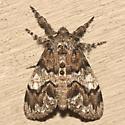 Yellow-based Tussock Moth - Hodges #8296 - Dasychira basiflava - female