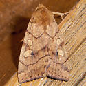 Moth-Rustic-Rosy-(maybe)-Hydraecia micacea)-Dunning Lake - Enargia infumata