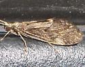 Brown Lacewing? - Brachycentrus