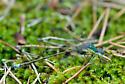 Elegant spreadwing - Lestes inaequalis - male