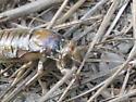 Cicada nymph? - Okanagana