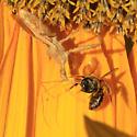 Assassin Bugs (Reduviidae) - Sinea