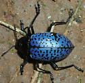 Ponderosa pine forest beetle - Gibbifer californicus