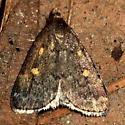 Moth - Idia diminuendis
