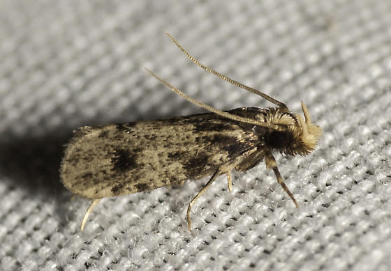 Another micro - Amydria effrentella