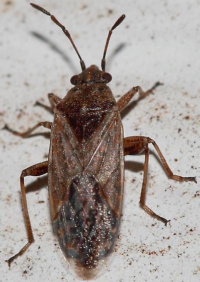Bug - Xyonysius californicus
