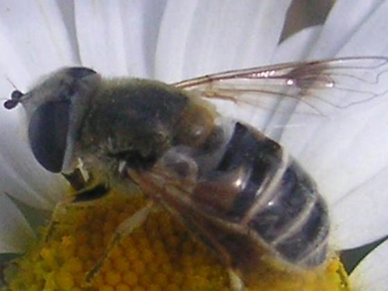 Eristalis stipator (Syrphidae) in the Colorado Rockies. - Eristalis stipator