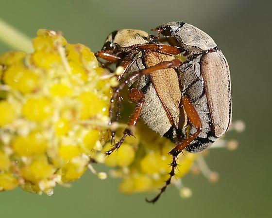 Love Beetles - Macrodactylus subspinosus - male - female