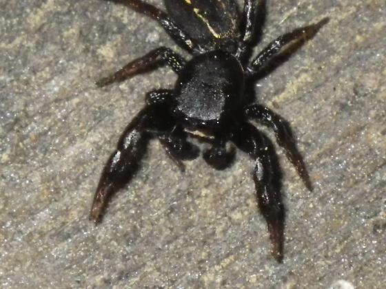 jumping spider - Metacyrba taeniola