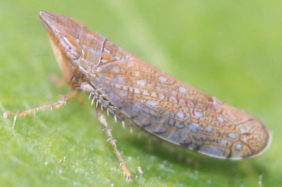 Scaphytopius - Scaphytopius acutus