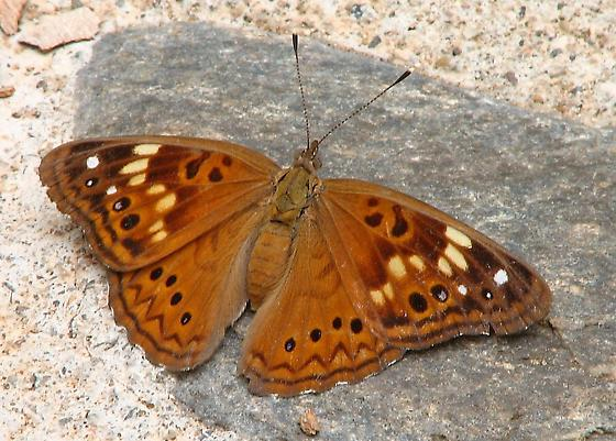 Butterfly - Asterocampa celtis - female