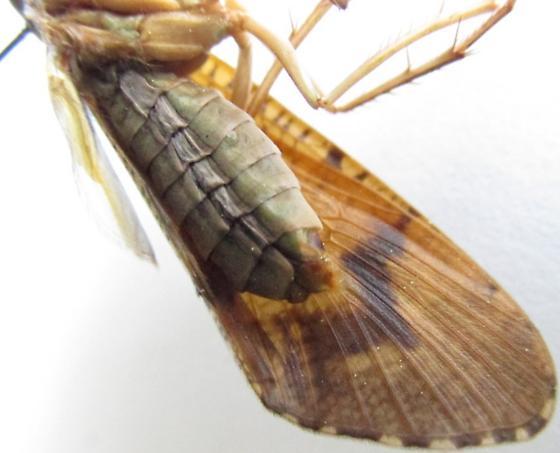 caddisfly 3 - Ptilostomis