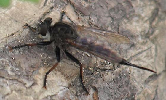 Is this Promachus hinei? view 2 - Efferia aestuans - female