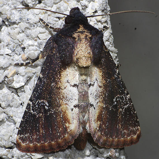 moth - Properigea costa