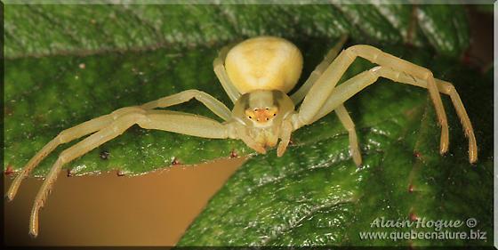 Spider sp - Misumena vatia
