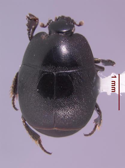 Hypocaccus (s.str.) fitchi (Marseul 1862) - Hypocaccus fitchi