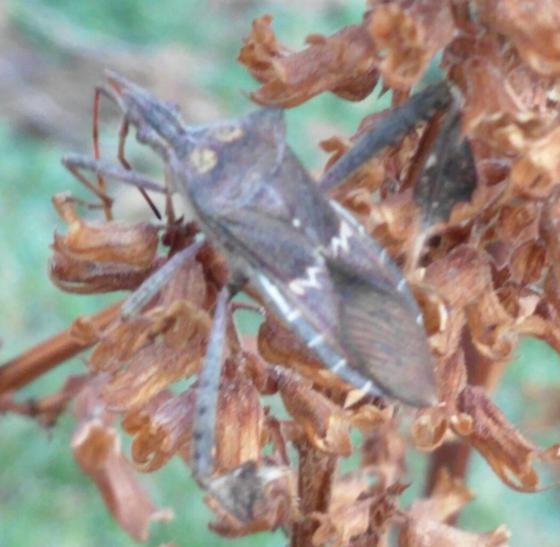 Weird coreid - Leptoglossus zonatus