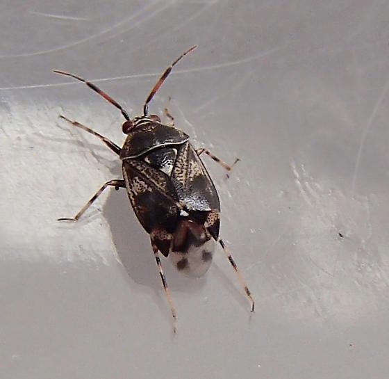 Bug - Deraeocoris nebulosus