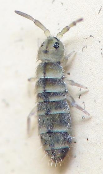 Springtail - Isotomurus bimus