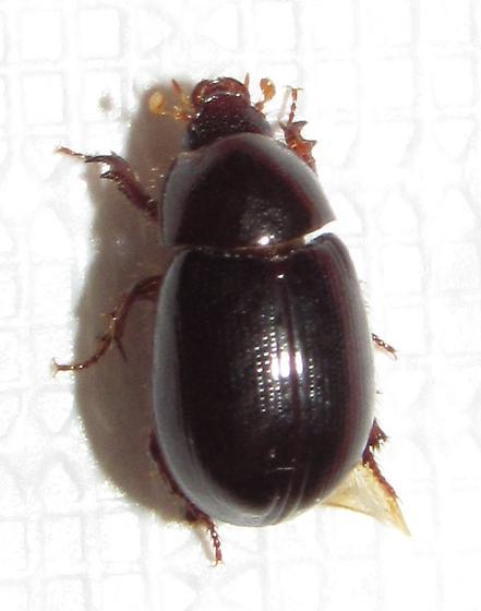 Beetle - Hybosorus illigeri