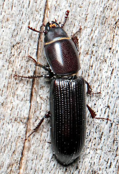 Beetle - Airora cylindrica