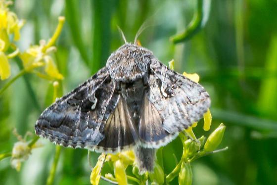 Fast Moth - Autographa californica