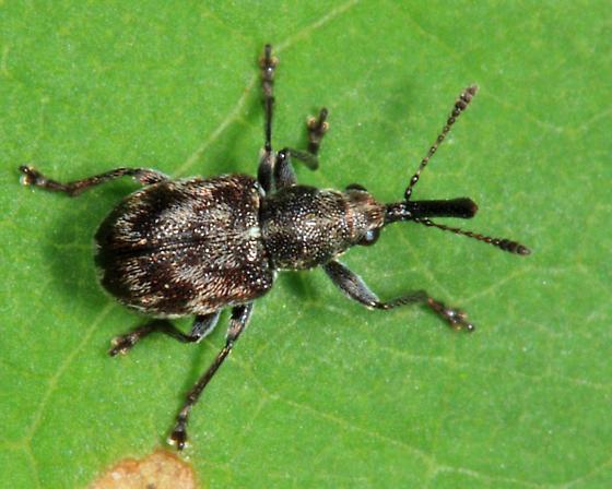 Leaf Rolling Weevil - Auletobius cassandrae