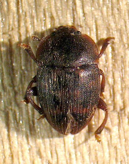Stelidota - Stelidota octomaculata