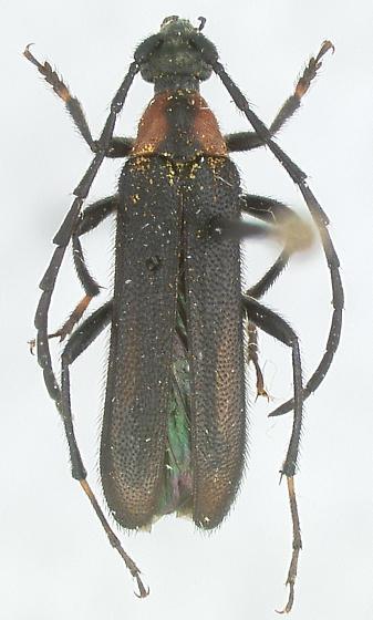 Orthochoriolaus chihuahuae (Bates) - Orthochoriolaus chihuahuae