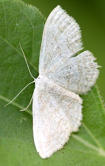 Geometrid moth - Scopula